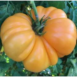 Amana orange (Copyright: TomatoFest.com)