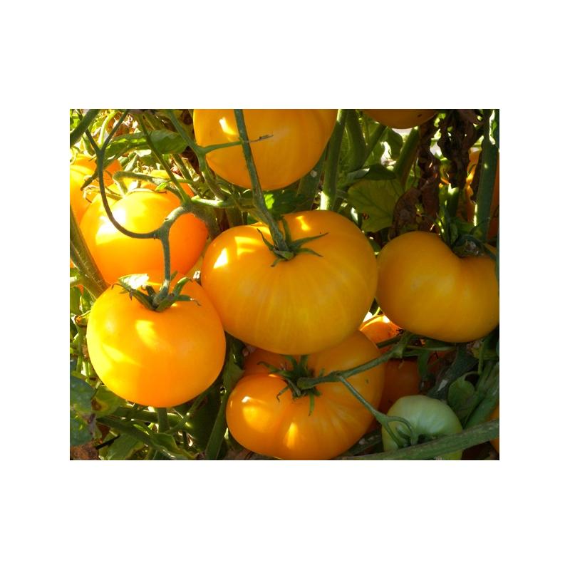 Azoychka (Copyright: tomatofest.com)