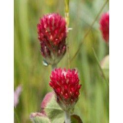 Incarnaat klaver - Trifolium incarnatum - 1