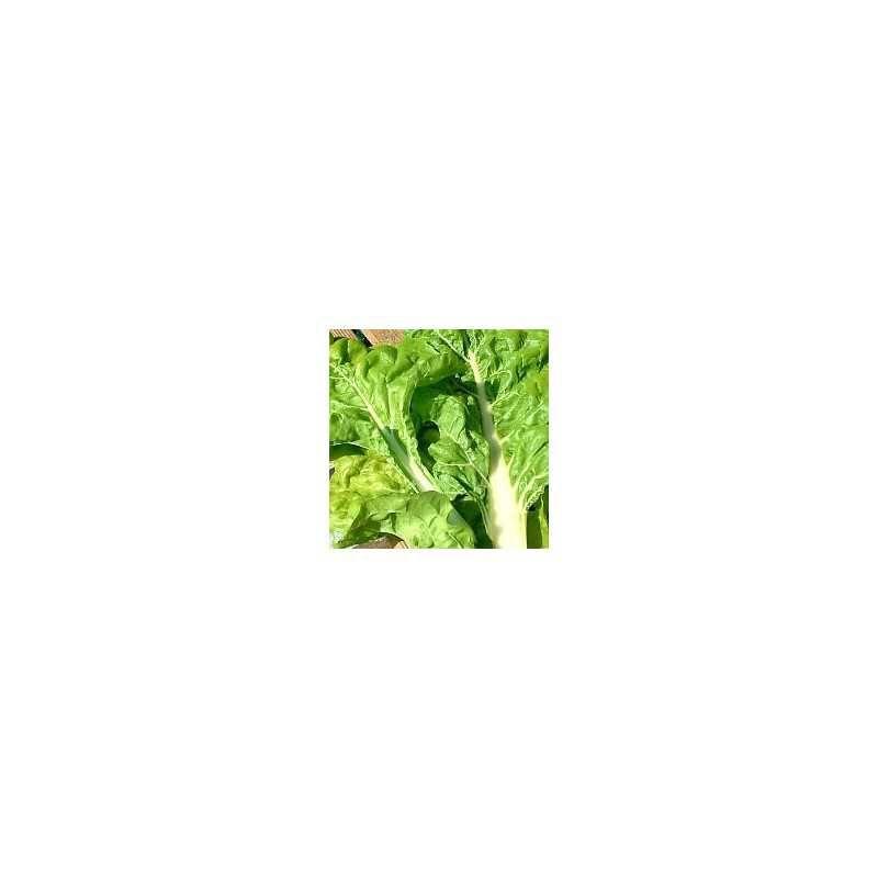 Groene snijbiet