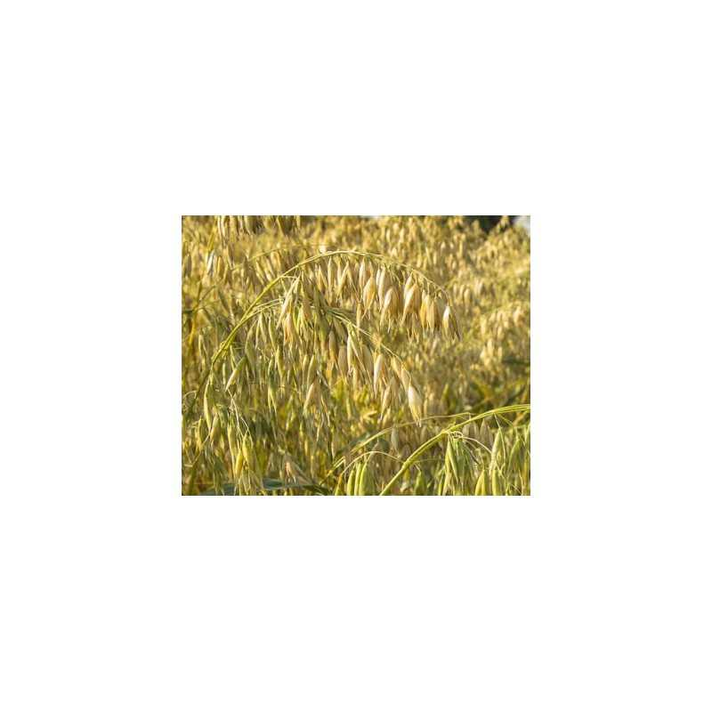 Brabantse Gele Haver